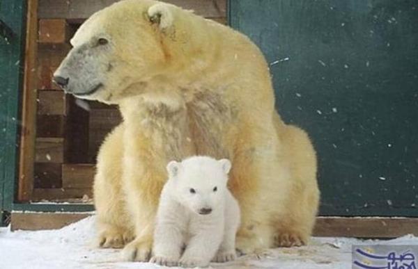 """آخر الدببة القطبية في برلين """"هيرتا"""""""