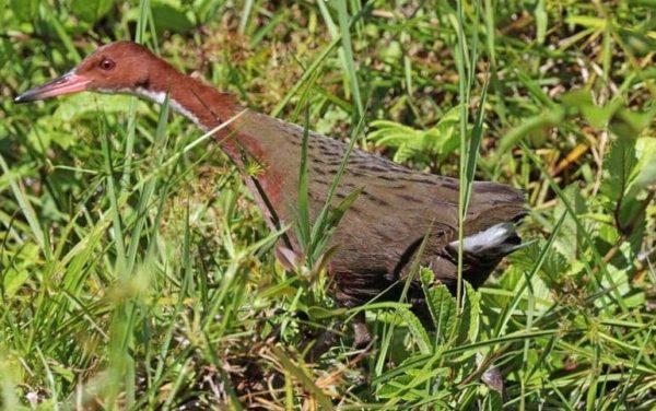ظهور طائر بعد انقراضه آلاف السنين