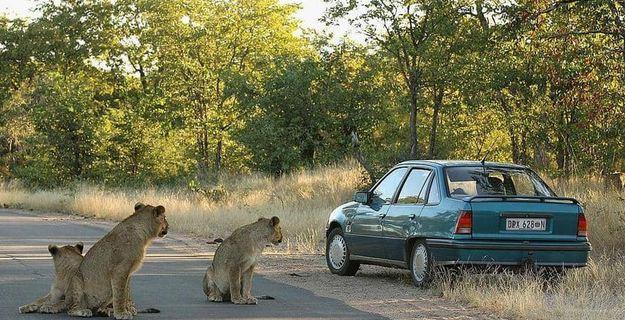 مطاردة خطيرة بعد هروب 14 أسد من حديقة حيوان