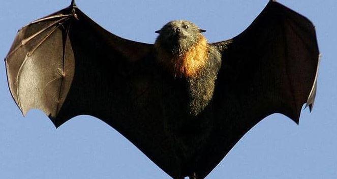 هل الخفافيش مصدر فيروس كورونا الجديد